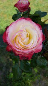 Blüte Stammrose Nostalie®